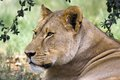 Lion panthera leo in kruger national park south africa Stock Image