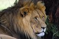 Lion panthera leo in kruger national park south africa Royalty Free Stock Photography