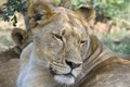 Lion panthera leo in kruger national park south africa Stock Photos