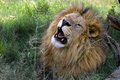 Lion panthera leo in kruger national park south africa Stock Images