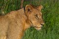 Lion panthera leo in kruger national park south africa Stock Photo
