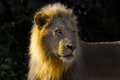 Lion panthera leo in kruger national park south africa Royalty Free Stock Photos