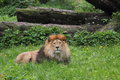 Lion panthera leo sitting on grass before trunks Royalty Free Stock Photography