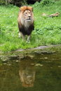 Lion panthera leo staying before pond Stock Image