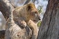 Lion panthera leo in tree kruger national park south africa Stock Photography