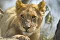 Lion panthera leo in tree kruger national park south africa Stock Image