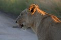 Lion panthera leo walking in kruger national park south africa Royalty Free Stock Images