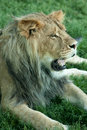 Lion Panting Stock Images