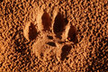Lion paw imprint of the of a mature panthera leo in soft sand south africa Royalty Free Stock Photography