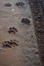 Lion paw prints Royalty Free Stock Photo
