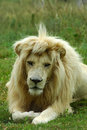 Lion portrait Royalty Free Stock Photos