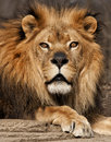Lion portrait beautiful male intently staring into the distance Royalty Free Stock Photos