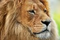 Lion portrait with rich mane on savanna safari big adult Stock Photography