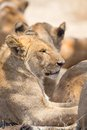 Lion pride rests in Serengeti Royalty Free Stock Photo