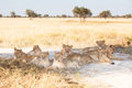 Lion pride of young lions resting in the shade khutse game reserve botswana africa Stock Image