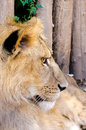 Lion profile Royalty Free Stock Images