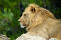 Lion profile a in the african reserve in sigean france Royalty Free Stock Photos