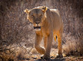 Lion on the prowl in kenya Royalty Free Stock Photos