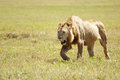 Lion prowling savannah Stock Images