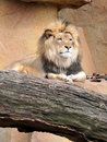 Lion Relaxing on Rocks Royalty Free Stock Photos