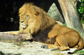 Lion rest on the ground in it s natural environment Royalty Free Stock Images