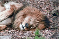 Lion at rest upper body of a resting in fall leaves Royalty Free Stock Photography