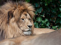 Lion resting Photo stock