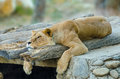 Lion resting Stockbilder