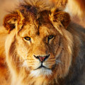 Lion resting in the sun a dark forest shining his face Stock Photo
