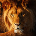 Lion resting in the sun lions a dark forest shining his face Stock Images