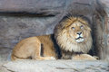 Lion rests male panthera leo Stock Photo