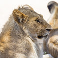 Lion rests in Serengeti Royalty Free Stock Photo