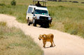 Lion on the road Royalty Free Stock Photo
