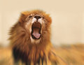 Lion roaring in the jungle Royalty Free Stock Photography