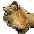 The Lion Roars Stock Photos