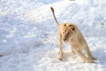 Lion is running on snow Stock Photography