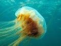 Lion's mane jellyfish Stock Photos