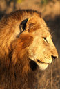 Lion in Sabi Sands Royalty Free Stock Photography