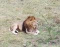Lion safari park taigan lions park crimea dormant Royalty Free Stock Photos