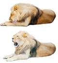 Lion set on an isolated white background Stock Image