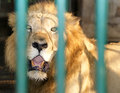 Lion with a sincere sight in cage Royalty Free Stock Photography