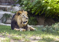Lion sitting on the ground Royalty Free Stock Photos