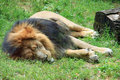 The lion sleep Royalty Free Stock Photos