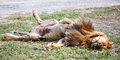 Lion sleep on the yard Royalty Free Stock Image