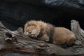 Lion sleeping on a tree trunk Royalty Free Stock Photo