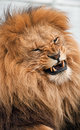 Lion snarling Stock Images