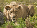 Lion Stalking Royalty Free Stock Photography