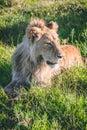Lion stalking prey in Africa