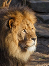 Lion standing in the evening sun Stock Photos