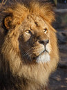 Lion standing in the evening sun Stock Image